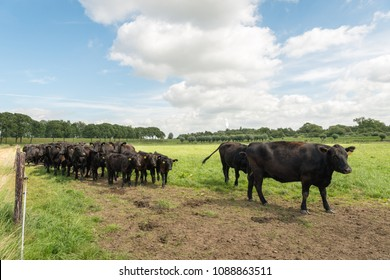 Black Angus cattle in a Dutch meadow. The Aberdeen Angus, sometimes simply Angus, is a Scottish breed of beef cattle. The meat is known for its exceptionally good quality.
