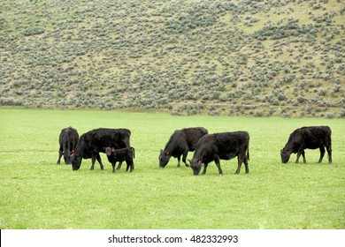 Black Angus Cattle feeding on spring grass during  rainstorm.