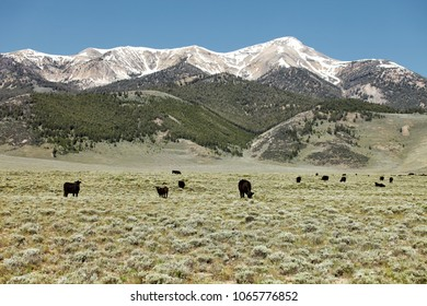 Black angus cattle grazing on leased national forest land in the mountains of Idaho