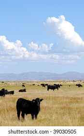 Black Angus cattle grazing in an open pasture with blues skies and clouds.