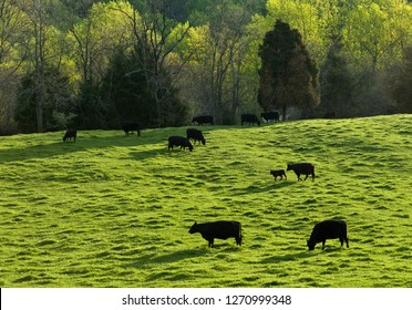 Black angus cattle grazing in pasture in spring near Monticello in Charlottesville, Virginia.