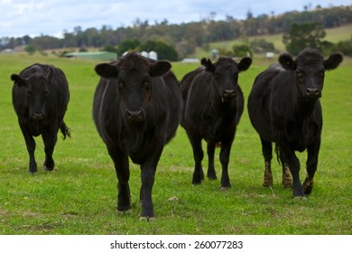 Black Angus cattle on green pasture