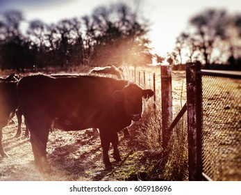 Black Angus cow at dawn against a barbed wire fence in the country