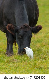 Black Angus cow grazing the grass while a Cattle Egret patiently waits for it to disturb an insect it can eat.