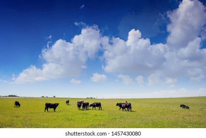 Black angus cows in the countryside. Cattles in a pasture, looking at the camera, green field, clear blue sky in a sunny spring day, Texas, USA.