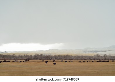 Black angus cows on autumn pasture