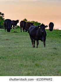Black Angus cows in spring pasture at sunset in vertical format