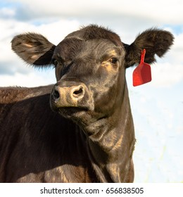 Black Angus heifer face with orange eartag against a blue sky and clouds background in square format