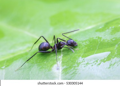 Black ant drinking water on leaf