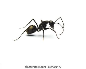 Black ant isolated on white background.