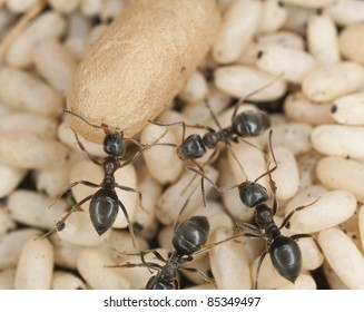 Black ant (Lasius niger) rescuing larva, extreme close up with high magnification