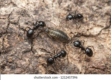 black ants with the biggest aphid in the nest