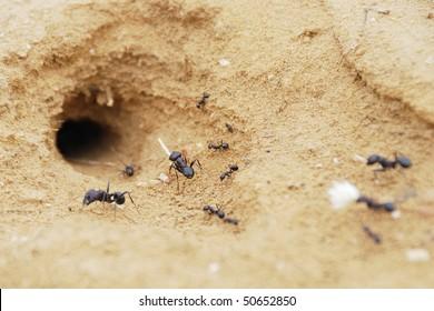 Black ants in desert near an anthill