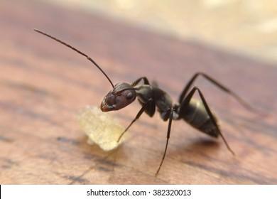 Black ants eating sugar on table
