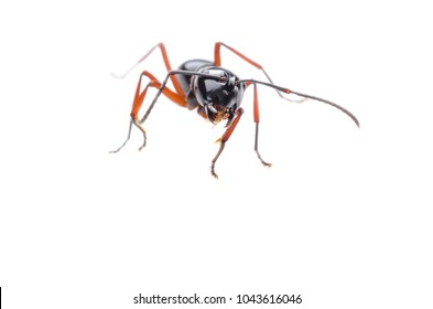 Black ants on a white background