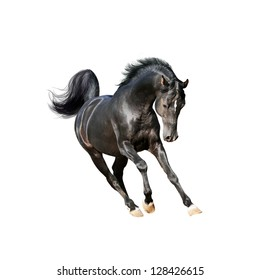 black arab horse isolated on white