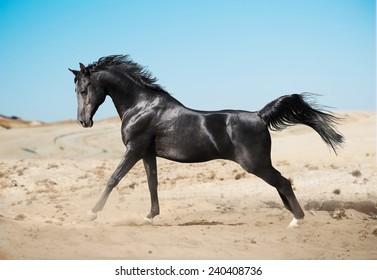 black-arab-horse-running-desert-260nw-240408736.jpg