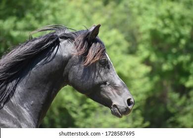 Black arabian stallion in the field