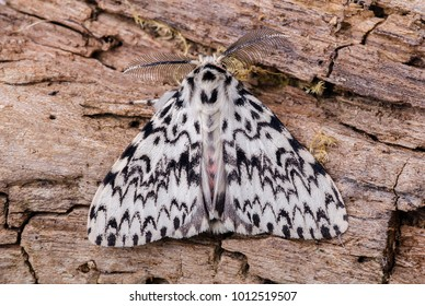 Black Arches moth ( Lymantria monacha ) in the family Erebidae. Sitting on the bark of a tree.