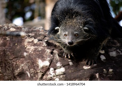 Black Arctictis binturong in zoo
