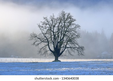 A Black Ash tree in early Spring silhouetted by a thin carpet of fresh snow pack and moist fog rising in the early morning sky.