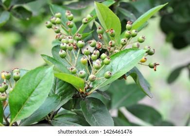 Black ashberry (Aronia melanocarpa) tree with unripe berries