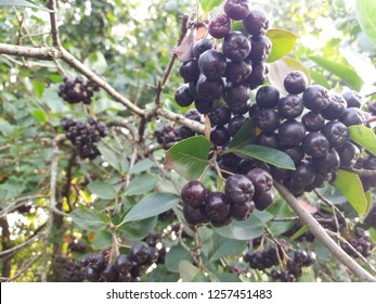 black ashberry this