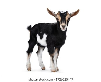 Black baby goat with white and brown spots, standing side ways with head turned to camera. Looking towards camera showing both eyes and ears up. Isolated on white background.