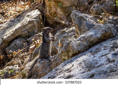 Black Baby Squirrel On Rock