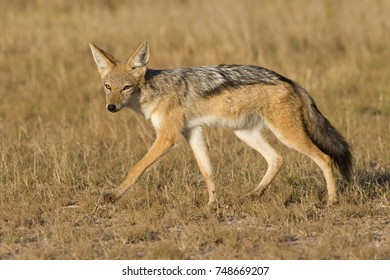 Black Backed Jackal in African Bush and Mountains