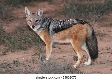 Black backed jackal with beautiful fur and bushy tail