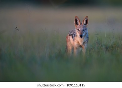 Black Backed Jackal, Canis Mesomelas, wildlife photo of african canid lit by colorful evening light staring directly at camera. Nxai Pan national park. African wildlife photography in Botswana.