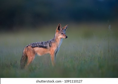 Black Backed Jackal, Canis Mesomelas, wildlife photo of african canid lit by colorful evening light against blurred dark savanna. Nxai Pan national park. African wildlife photography in Botswana.