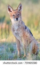 Black Backed Jackal, Canis Mesomelas, vertical photot of african canid lit by colorful morning sun staring directly at camera. Kgalagadi park. African wildlife photography in Kalahari, Botswana.
