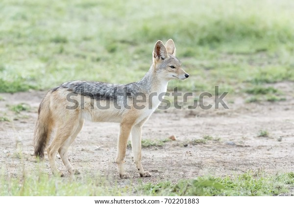 Black backed jackal (Canis mesomelas) standing on savanna, Masai Mara National Reserve, Kenya