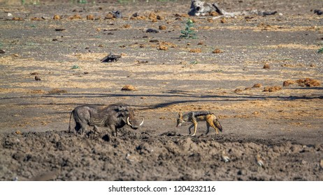 Black backed jackal and common warthog in Kruger National park, South Africa ; Specie Canis mesomelas family of Canidae