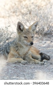 Black backed jackal hiding in the shadow, seen and pictured in several national parks in namibia, africa.