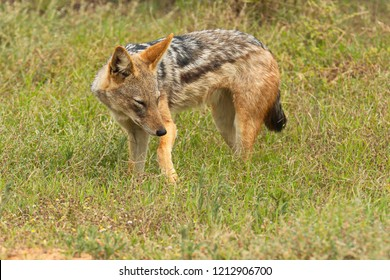 Black backed jackal hunting for food in long dry grass early in the morning
