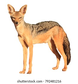 Black backed Jackal isolated on white background