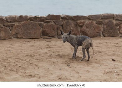 Black backed jackal with a serious case of mange, Cape Cross, Namibia, Africa