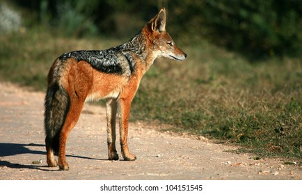 A black backed Jackal in this side on landscape portrait of this unique mammal. Taken in Addo elephant national Park,eastern cape,south africa