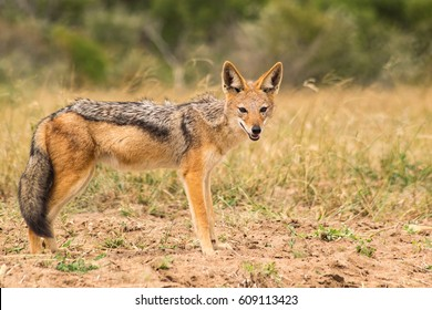 Black Backed or Silver Backed Jackal staring