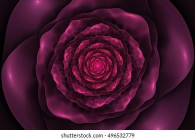 Black background with crumpled pink rose in the center. Spiral flower texture, fractal pattern. Marsala flower on dark purple backdrop.