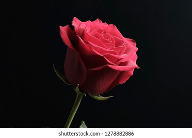 black background and red rose with shadows on flower, flower on dark background