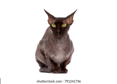 The black bald cat Sphinx isolated over white background