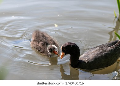 Black bald-coot feeding its young biddy from beak to beak with fluffy plumage and a red beak swimming on lake or creek in spring showing parental care of water birds isolated close-up with copy space