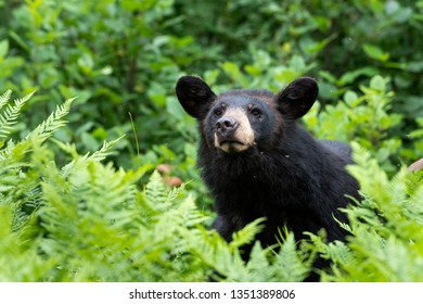Black bear amongst fern in Algonquin Provincial Park in Ontario Canada