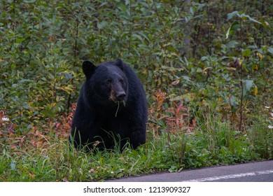Black Bear (Baribal) next to the main road, British Columbia, Canada
