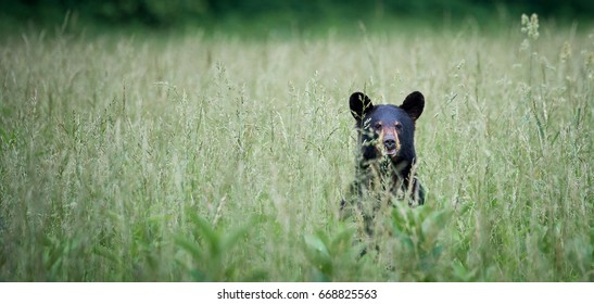 Black Bear in Cade's Cove, Tennessee
