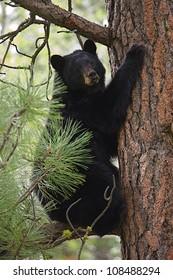 "Black Bear climbing a large pine tree, ""Tree Hugger"" (environmental symbolism)"